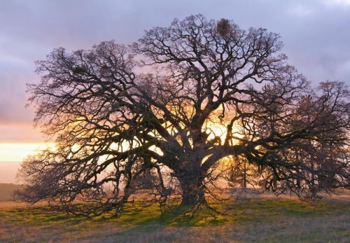 Sunset Oak Coe