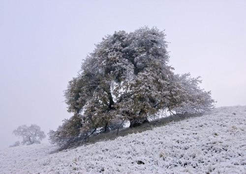 Coe Snow Oak