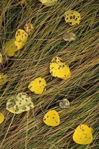 W-Aspen-Leaves-on-Grass