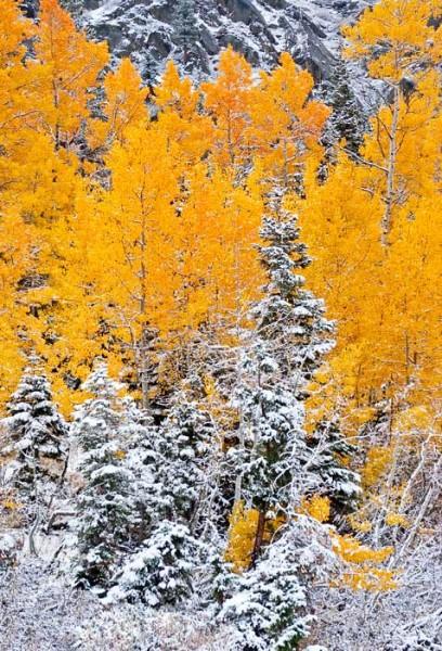 W-Snowy-Aspen-Portrait