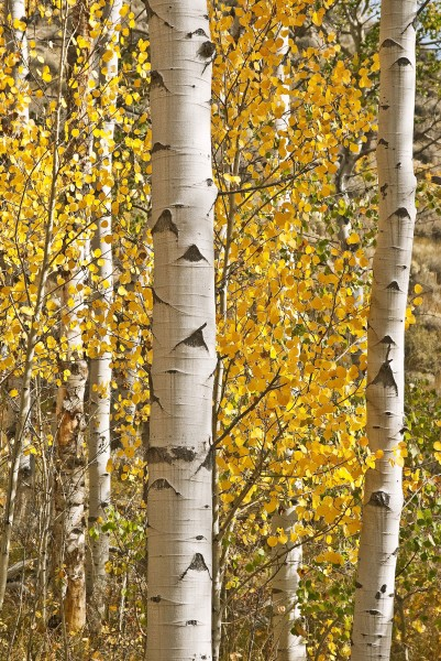 Aspen Trunk Forest Lite